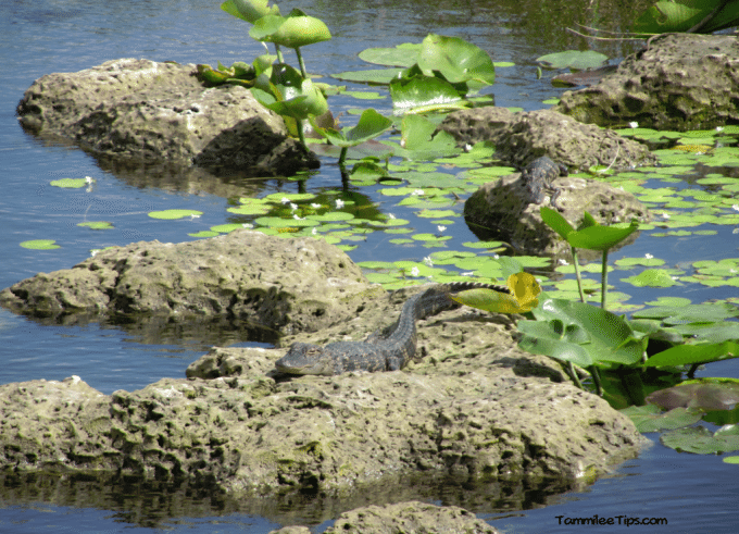 Everglades-National-Park-Baby-Gator.png