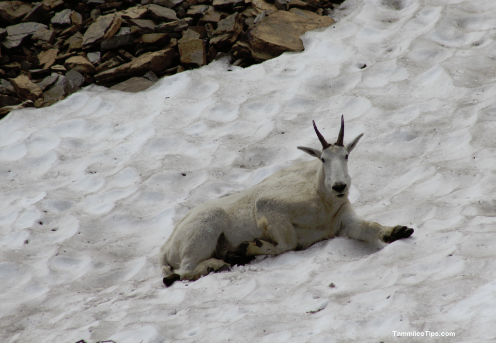 Glacier National Park Going to the Sun Road Sheep