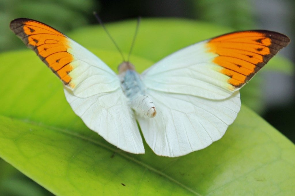 white and orange butterfly