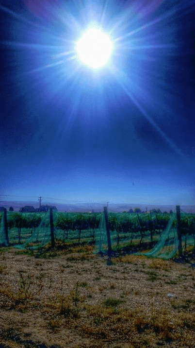 Walla Walla Grape Vines