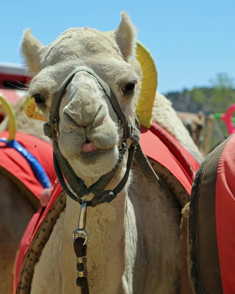 camel ready to race in Virginia City