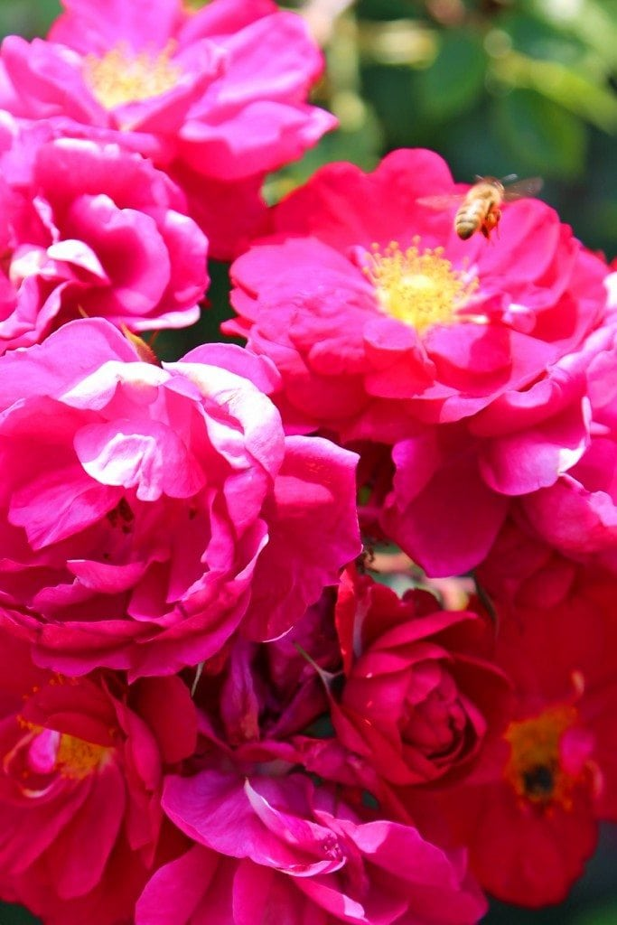 Hot pink roses at Kingsbrae Garden
