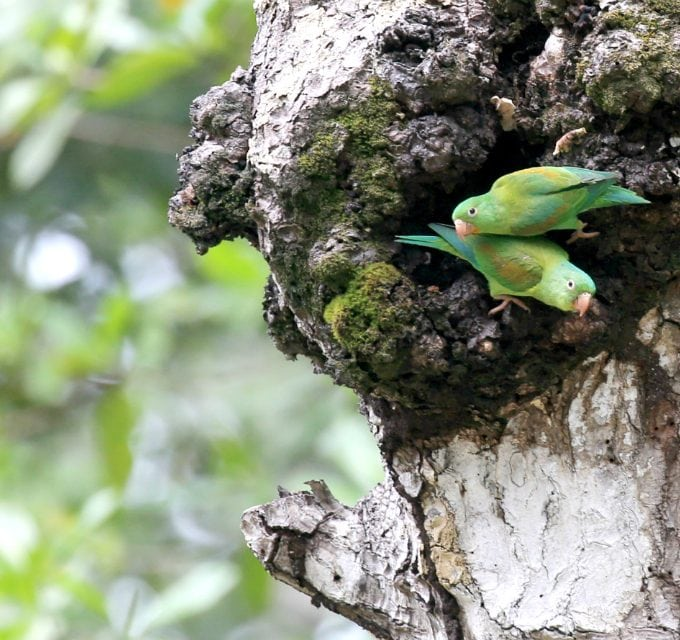 Parakeets in Costa Rica